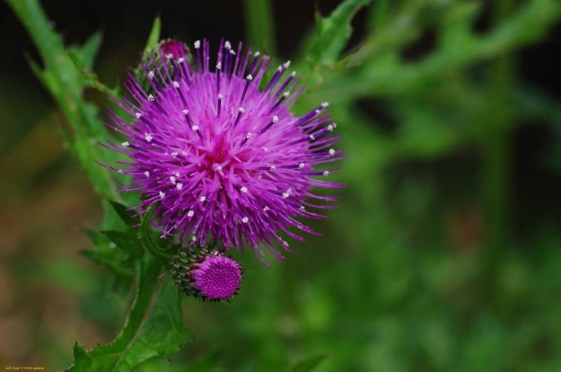 Цветок репейника фиолетового цвета