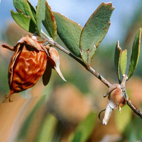 Плоды дерева жожоба