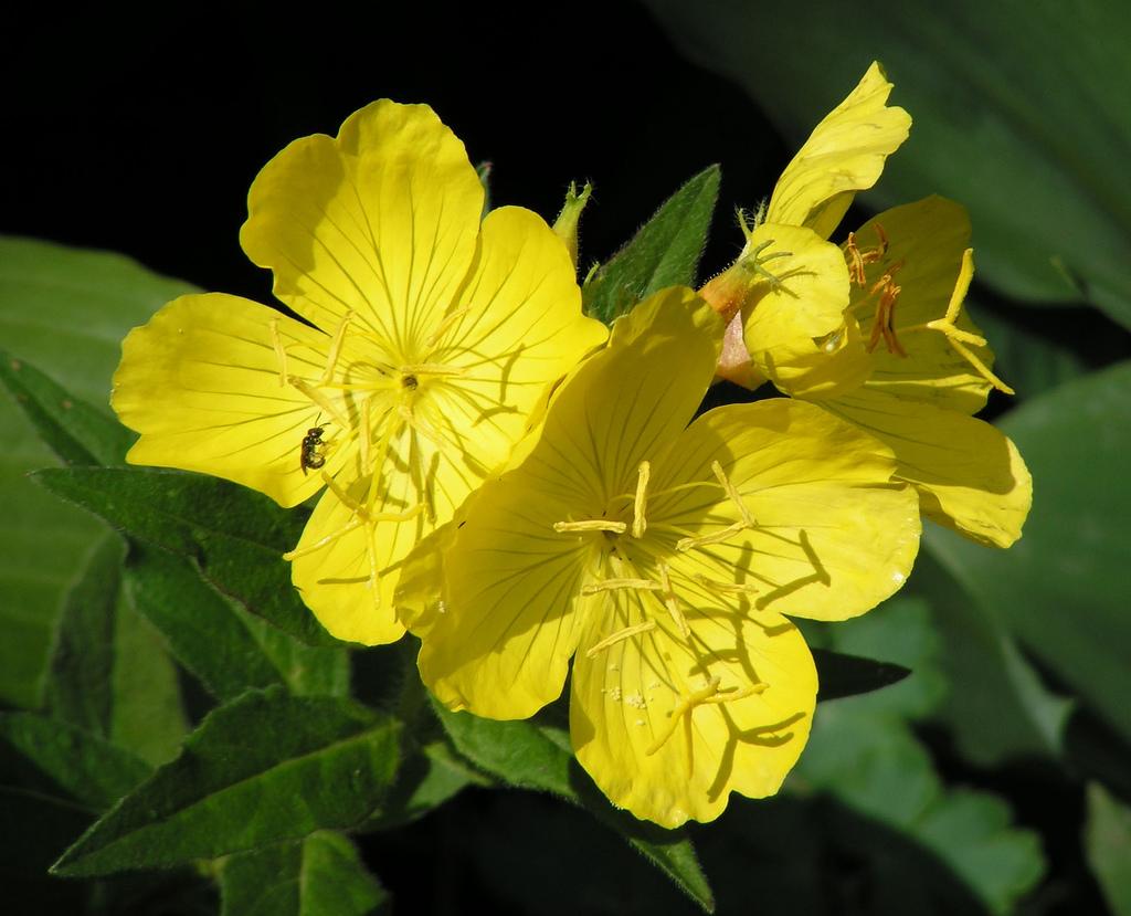 Цветок энотеры или примулы вечерней