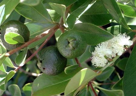 Ветки, плоды и цветы эвкалипта