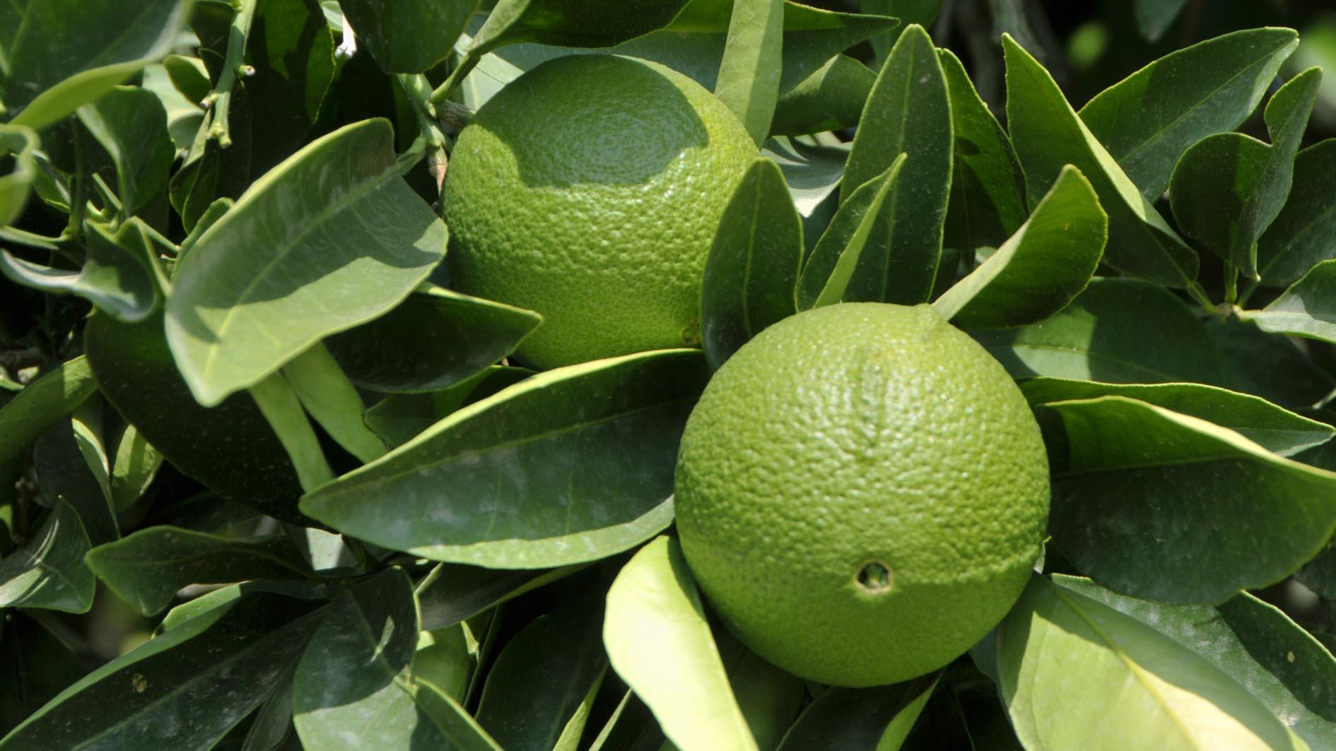 Плоды и листья бергамота зеленого цвета