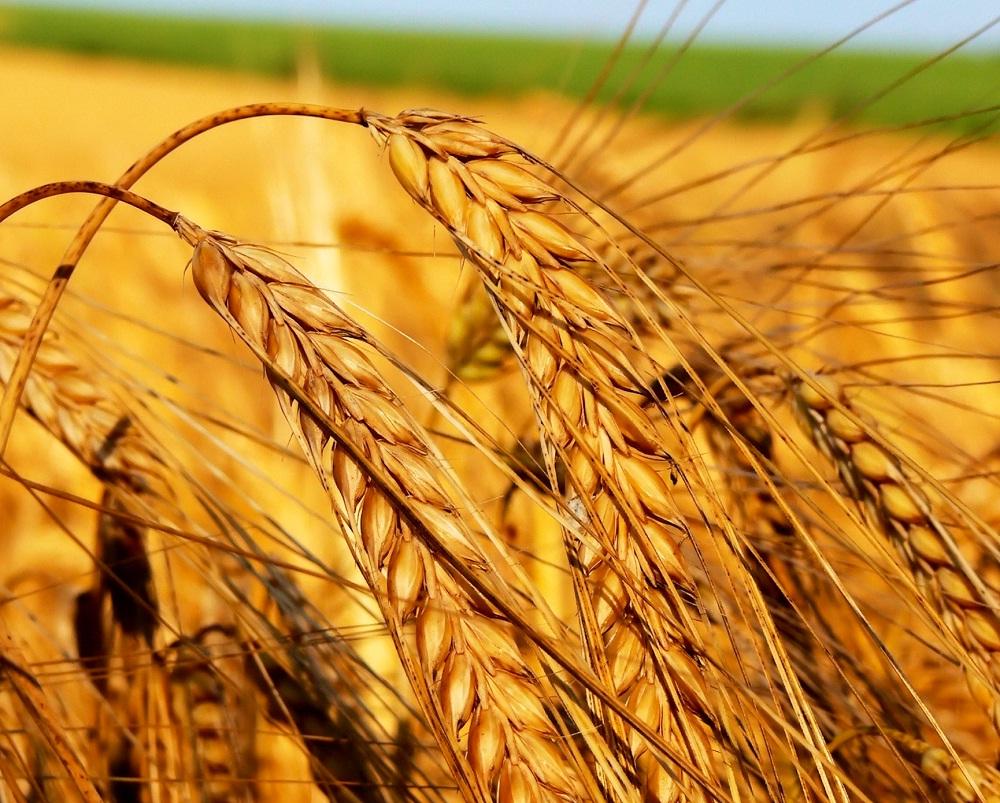 Колосья с зернами на пшеничном поле