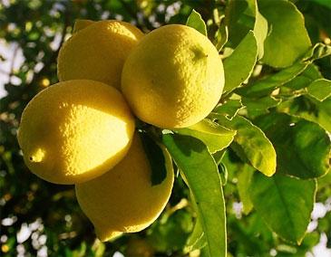 Растущие на ветках цитрусовые