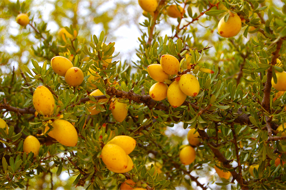 Вечнозеленое дерево аргании колючей