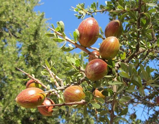 Ветки, листья, плоды и шипы арганы