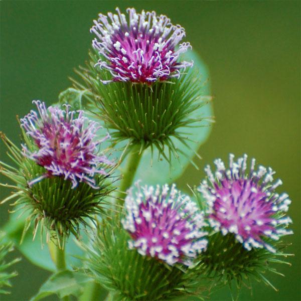 Растение, обладающее многими полезными свойствами