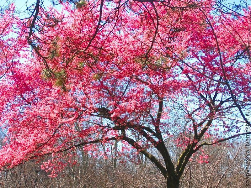 Розовое дерево с цветами