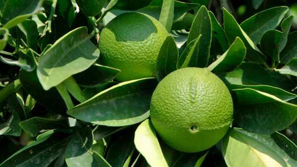 Бергамот зеленого цвета в кожуре