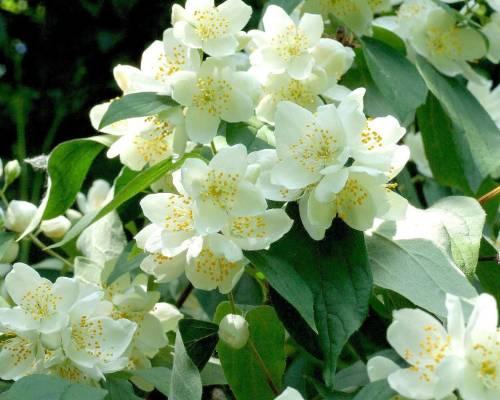 Белые цветы на ветке