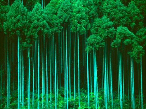 Эвкалиптовый лес в Австралии