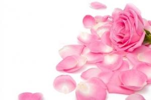 Роза и лепестки розового цвета