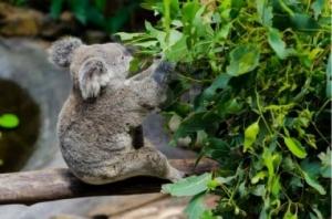 Коала ест листья эвкалипта